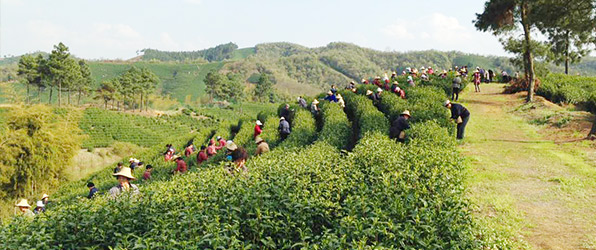 Anji Bai Cha tea pickers - Spring 2015