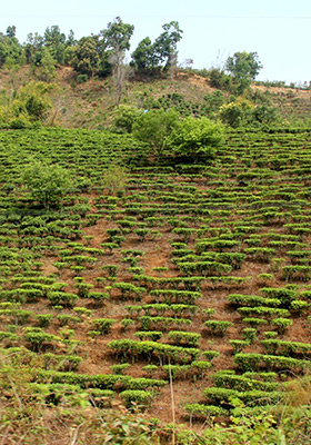 Newly planted tea gardens in the Bulang Mountains.