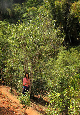 Lao Man Erh ancient tea tree garden with Wan Ling.
