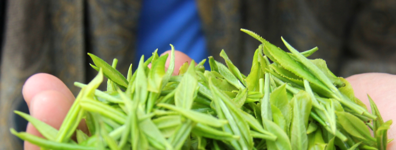 Hand picked, fresh tea leaf in Zhejiang, China.