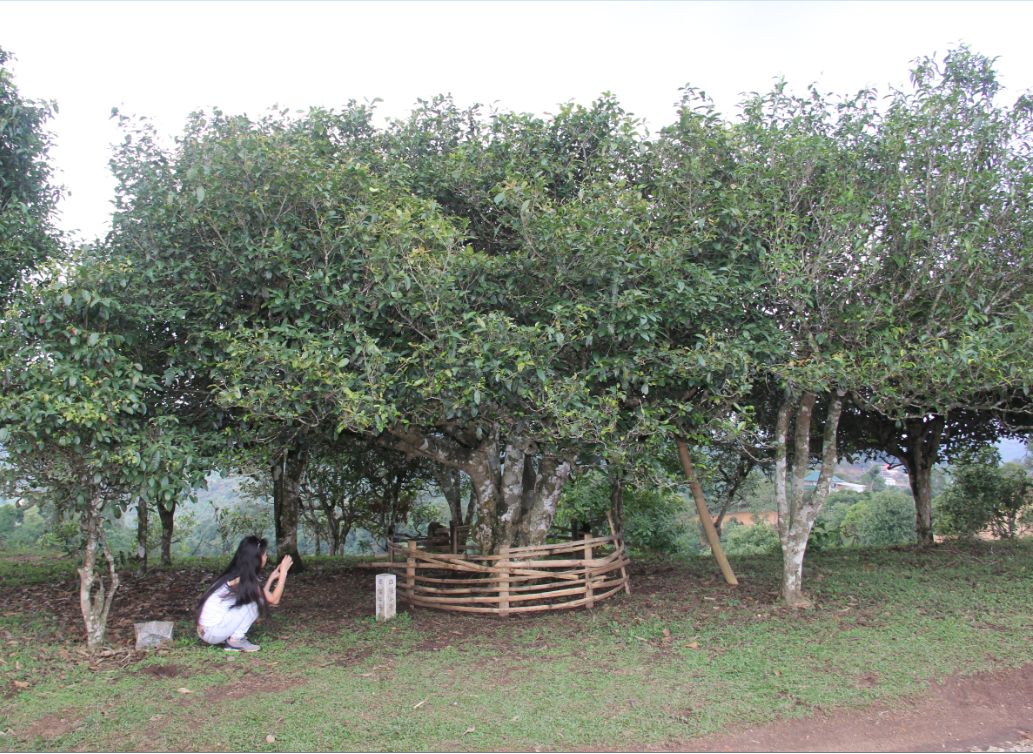 Cha Wang Shu Ancient Tea Tree in He Kai village