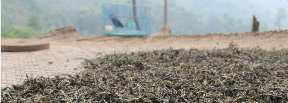 Puer Mao Cha Sun Drying in Pa Sha Village, Yun Nan